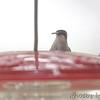 Ruby-throated Hummingbird <br /> Bridgeton, Mo. <br /> 2017-10-10