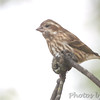 Purple Finch (female) <br /> Out kitchen window in backyard <br /> Bridgeton, Mo <br /> 2017-10-30