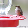 Ruby-throated Hummingbird <br /> Bridgeton, Mo. <br /> 2017-10-11