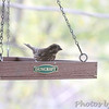 Purple Finch (female) <br /> (Not quite in focus) <br /> Out kitchen window in backyard <br /> Bridgeton, Mo <br /> 2017-10-30