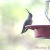 Ruby-throated Hummingbird <br /> Bridgeton, Mo. <br /> 2017-10-08