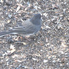 Dark-eyed Junco ''Cassiar'' <br /> Bridgeton, Mo <br /> 2017-10-30