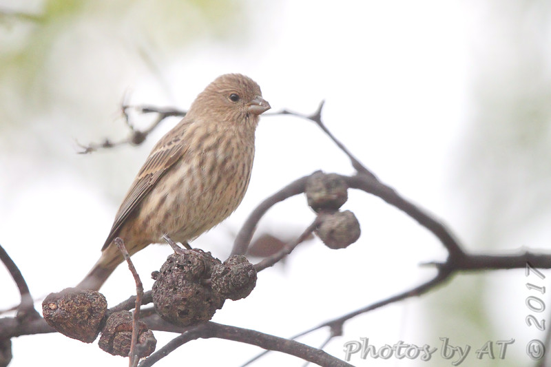 House Finch (female)<br /> Bridgeton, Mo <br /> 2017-10-30