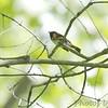 American Redstart <br /> Castlewood State Park <br /> 09/05/17