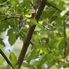 Northern Parula <br /> Castlewood State Park <br /> 09/05/17