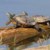 Turtles <br /> Ellis Bay <br /> Riverlands Migratory Bird Sanctuary