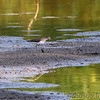 Solitary Sandpiper <br /> Back of Heron Pond across levee <br /> Riverlands Migratory Bird Sanctuary