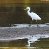 Little Blue Heron <br /> Back of Heron Pond across levee <br /> Riverlands Migratory Bird Sanctuary