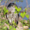 Yellow-crowned Night-Heron <br /> Heron Pond parking lot <br /> Riverlands Migratory Bird Sanctuary