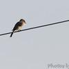 Eastern Phoebe <br /> Orton Road <br /> Riverlands Migratory Bird Sanctuary