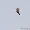 Common Nighthawk <br /> Orton Road <br /> Riverlands Migratory Bird Sanctuary