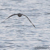 Parasitic Jaeger <br /> Carlyle Lake, Illinois