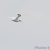 Forster's Tern <br /> Carlyle Lake, Illinois