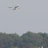 Black Terns <br /> Carlyle Lake, Illinois