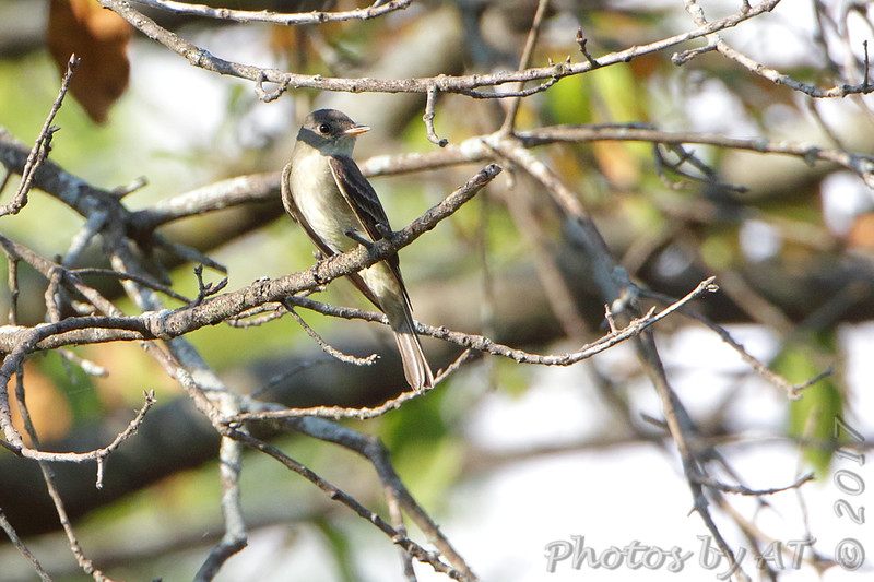 Eastern Wood Pewee <br /> West Access Marina picnic area <br /> Carlyle Lake, Illinois