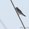 Northern Rough-winged Swallow <br /> Park Place Condos <br /> Lake of the Ozarks area