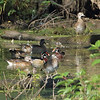 Wood Ducks <br /> River Road below Bagnell Dam