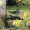 Wood Duck  <br /> River Road below Bagnell Dam