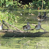 Wood Ducks <br /> River Road below Bagnell Dam