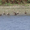 "Black-bellied Whistling-Ducks <br> Teal Pond <br> Riverlands Migratory Bird Sanctuary <br> 2017-09-26<br> <br>  <span class=""noShowSmart""> <a href=""/MyKeywords/Bird-Videos/n-gF9bt/i-KD8pdBk/A""> <span style=""color:yellow"">Click here to open video in lightbox/full screen</span></a> </span>  <span class=""noShowGallery""> <a href=""/Birds/2017-Birding/Birding-2017-September/2017-09-26-Riverlands-Migratory-Bird-Sanctuary/i-KD8pdBk/A""> <span style=""color:yellow"">Click here to open video in lightbox/full screen</span></a> </span>"