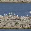 Ring-billed Gulls • Great Egret <br /> Teal Pond <br /> Riverlands Migratory Bird Sanctuary