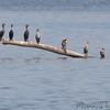 Double-crested Cormorants <br /> Ellis bay <br /> Riverlands Migratory Bird Sanctuary