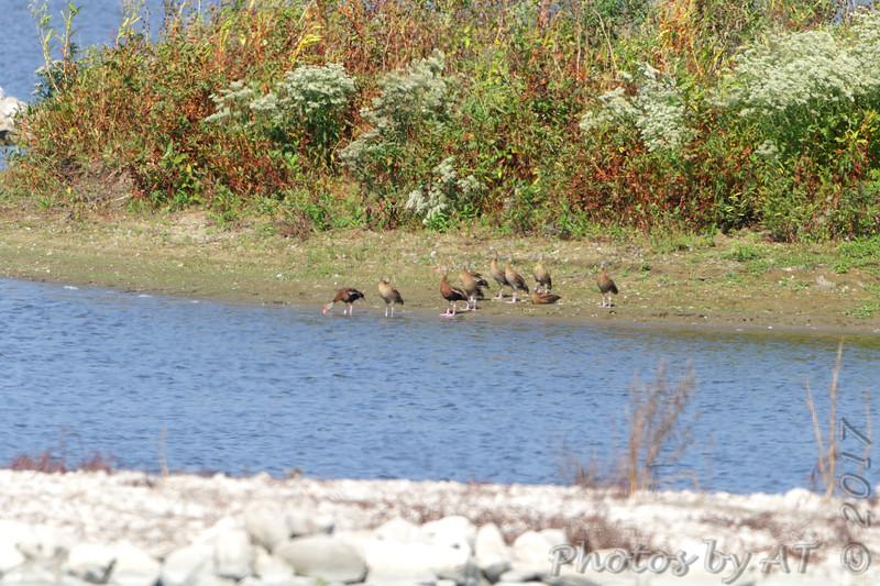Black-bellied Whistling-Ducks <br /> Teal Pond <br /> Riverlands Migratory Bird Sanctuary