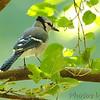 Blue Jay <br /> Tower Grove Park