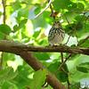 Ovenbird <br /> Tower Grove Park