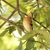 Rose-breasted Grosbeak <br /> Tower Grove Park