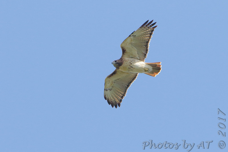 Red-tailed Hawk <br /> Tower Grove Park