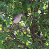 Northern Mockingbird <br /> Bridgeton, Mo <br /> 2017-09-29