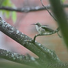 Ruby-throated Hummingbird <br /> Bridgeton, Mo. <br /> 2017-09-21