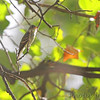 Eastern Wood-Pewee <br /> Bridgeton, Mo <br /> 2017-09-29