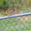 Brown Thrasher <br /> Bridgeton, Mo <br /> 2017-09-30