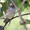 Eurasian Tree Sparrow <br /> Bridgeton, Mo <br /> 2017-09-30