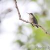 Ruby-throated Hummingbird <br /> Bridgeton, Mo. <br /> 2017-09-18