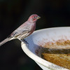 House Finch <br /> Bridgeton, Mo <br /> 2017-09-30