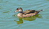 Wood Duck in Elclipse Plumage