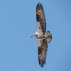Osprey with freshly caught fish
