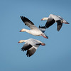 Snow Geese Arriving