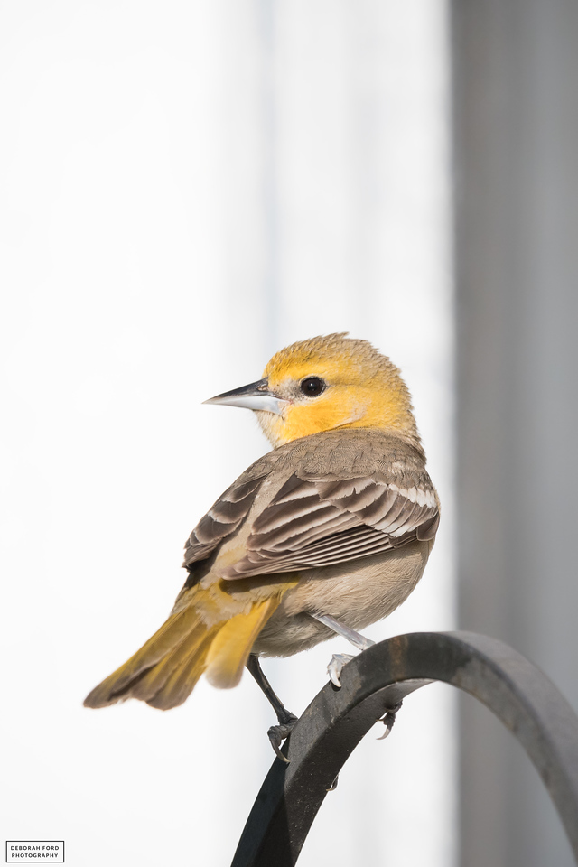 Hooded Oriole (recently fledged juvenile)