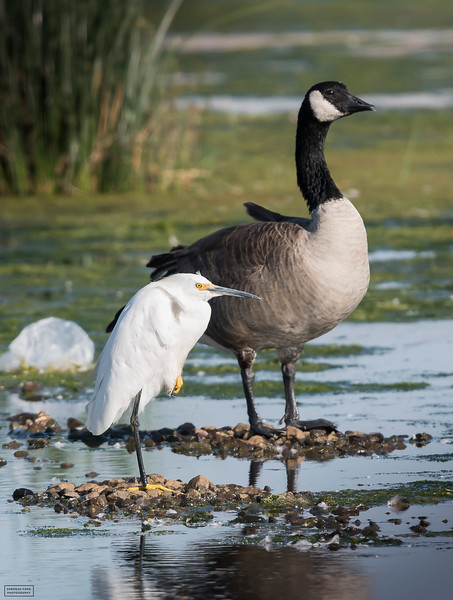 Snowy Egret and Canada Goose