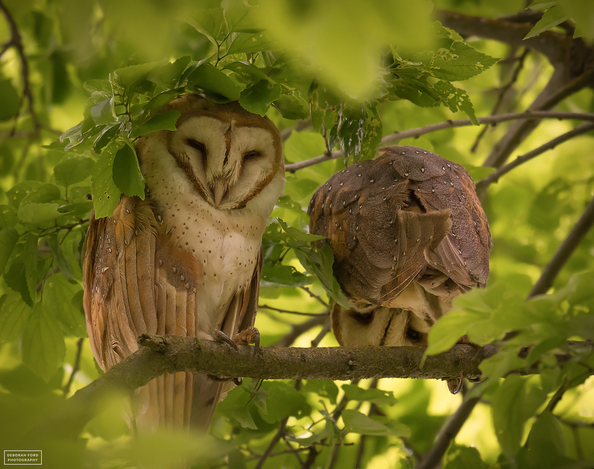 Barn Owls (Father and Offspring)