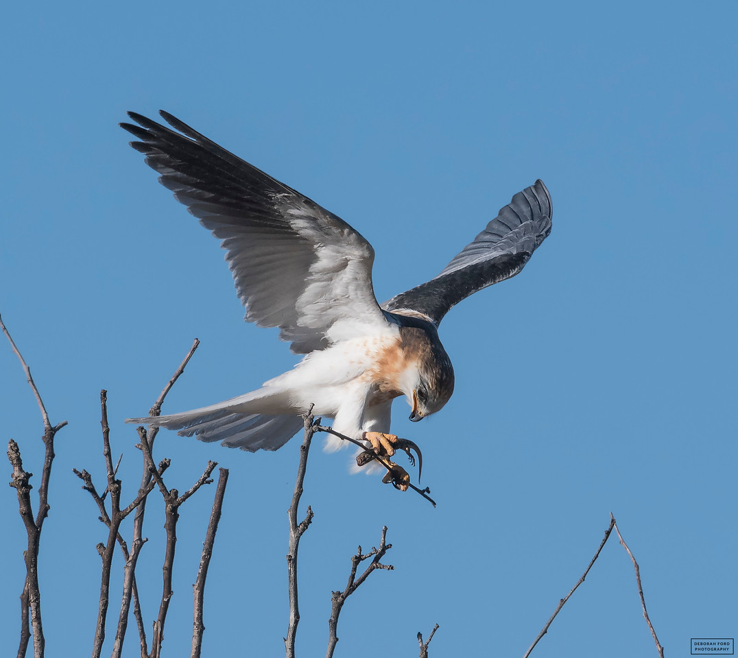 White-tailed Kite (Juvenile)