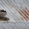 Northern Harrier (male) passing through the farm