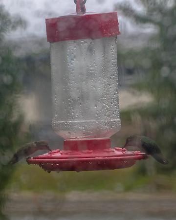 2017 January.  Wet Hummingbirds at home.