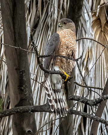 2017 March.  Cooper's hawk at the canyon.