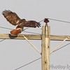 Red-tailed Hawk <br /> Intersection of Hwy N and 39<br /> Cedar County Mo <br /> 2018-04-06