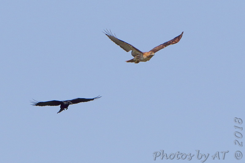 Red-tailed Hawk and American Crow <br /> Intersection of Hwy N and 39<br /> Cedar County Mo <br /> 2018-04-05